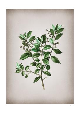 Vintage Evergreen Oak 3 Botanical on Parchment