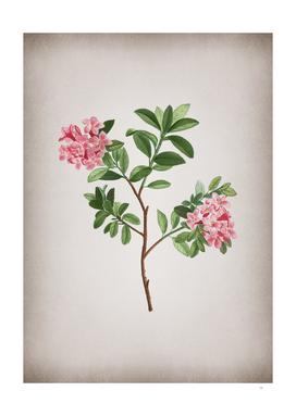 Vintage Hairy Alpenrose Botanical on Parchment