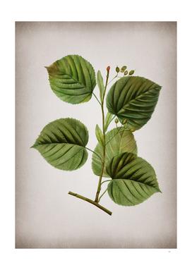 Vintage Linden Tree Branch Botanical on Parchment