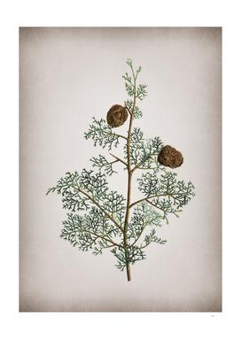 Vintage Mediterranean Cypress Botanical on Parchment