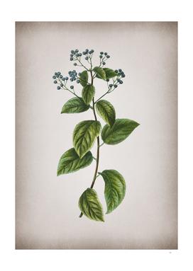 Vintage New Jersey Tea Botanical on Parchment