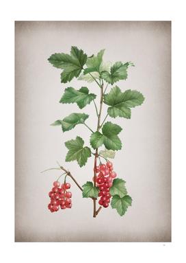Vintage Redcurrant Plant Botanical on Parchment