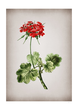 Vintage Scarlet Geranium Botanical on Parchment