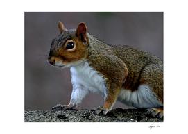Grey Squirrel 02JJ