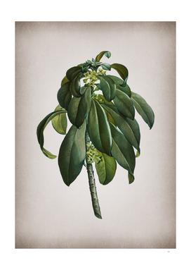Vintage Spurge Laurel Weeds Botanical on Parchment