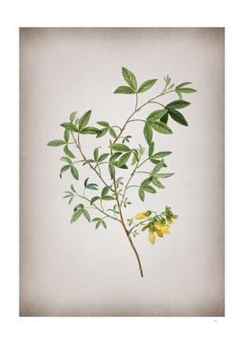 Vintage Stinking Bean Trefoil Botanical on Parchment