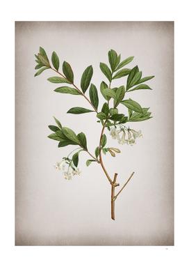 Vintage White Honeysuckle Plant Botanical on Parchmen