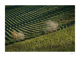 Italian vineyards. Calosso Piedmont 05