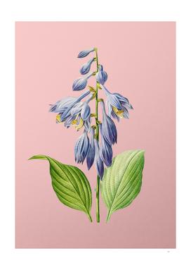 Vintage Blue Daylily Botanical on Pink