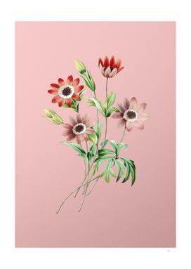 Vintage Broad Leaved Anemone Botanical on Pink