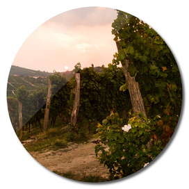 Italian vineyards. Calosso Piedmont 02