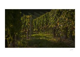 Italian vineyards. Calosso Piedmont 01