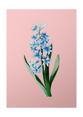 Vintage Dutch Hyacinth Botanical on Pink