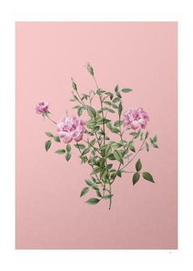 Vintage Blooming Dwarf Rosebush Botanical on Pink