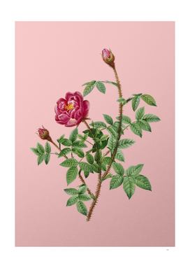 Vintage Blooming Moss Rose Botanical on Pink