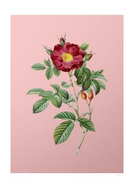 Vintage Blooming Red Portland Rose Botanical on Pink