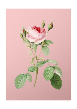Vintage Double Moss Rose Botanical on Pink