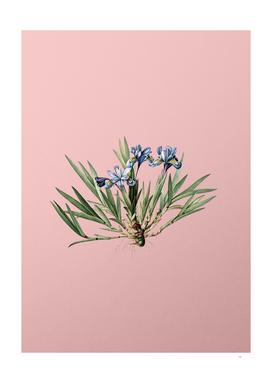 Vintage Dwarf Crested Iris Botanical on Pink