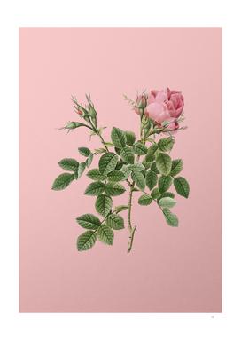 Vintage Dwarf Damask Rose Botanical on Pink