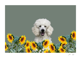 Poodle in sunflower field with leaves