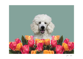White Poodle Roses
