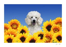 Poodle Big Sunflower Blossoms