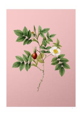 Vintage Mountain Rose Bloom Botanical on Pink