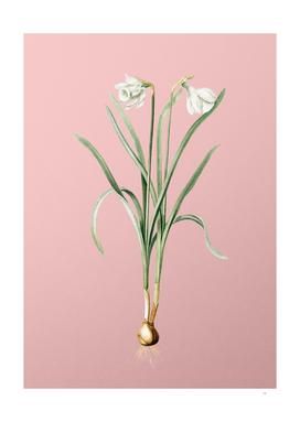 Vintage Narcissus Candidissimus Botanical on Pink