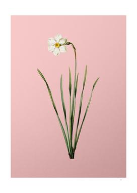 Vintage Narcissus Poeticus Botanical on Pink