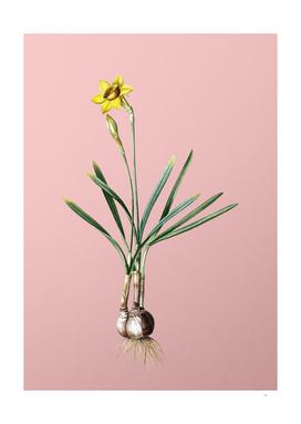 Vintage Narcissus Gouani Botanical on Pink