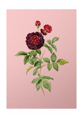 Vintage One Hundred Leaved Rose Botanical on Pink