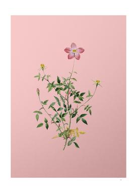 Vintage Single Dwarf Chinese Rose Botanical on Pink