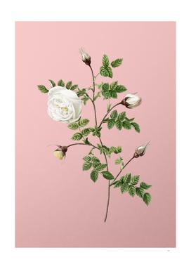 Vintage Silver Flowered Hispid Rose Botanical on Pink