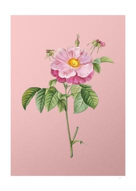 Vintage Speckled Provins Rose Botanical on Pink