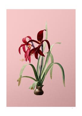 Vintage Sprekelia Botanical on Pink