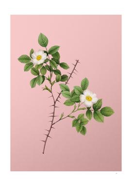 Vintage Spiny Leaved Rose of Dematra Botanical on Pin