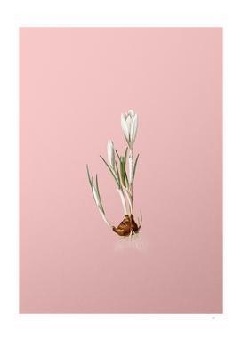Vintage Spring Crocus 1 Botanical on Pink