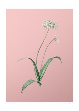 Vintage Spring Garlic Botanical on Pink