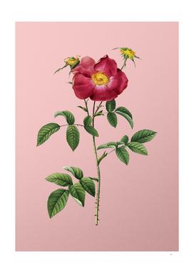 Vintage Stapelia Rose Bloom Botanical on Pink