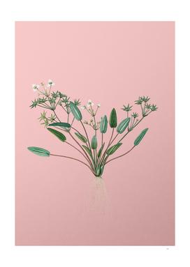 Vintage Starfruit Botanical on Pink