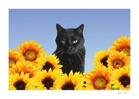 Black Cat Sunflower Blossoms