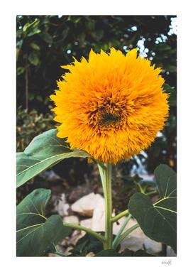 fluffy chrysanthemum