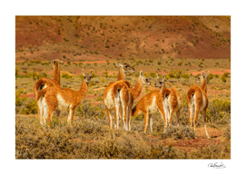 Group of Guanacos at Patagonia Landscape, Santa Cruz,