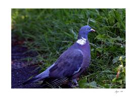 Wood Pigeon 18