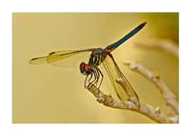 LOVELY FLORIDIAN DRAGONFLY