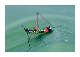 CLOWN CRICKET FROM COLOMBIA