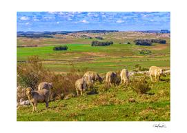 Sheeps at Countryside Landscape Scene, Uruguay