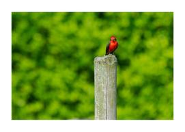 LIBERAL BIRD