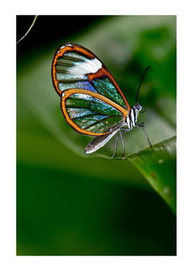 CLEAR WINGS BUTTERFLY FROM COLOMBIA