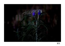 Blue Wilt